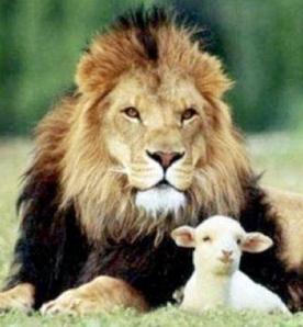 24 lion lamb