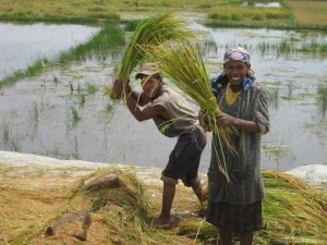 These rice harvesters outside Antananarivo model good teamwork.