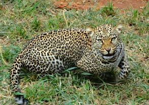 This leopard stopped long enough for me to take his picture at the Nairobi (Kenya) safari walk.