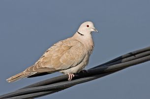 640px-Collared_Dove