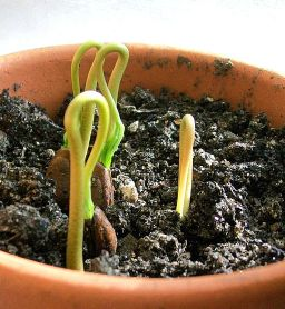 Cherimoya_sprouts_emerging